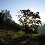 Jutranje sonce obseva češnjo