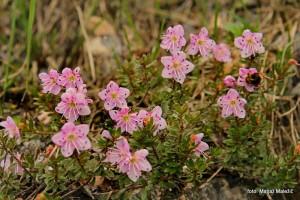 Slečnik (Rhodothamnus chamaecistus)2